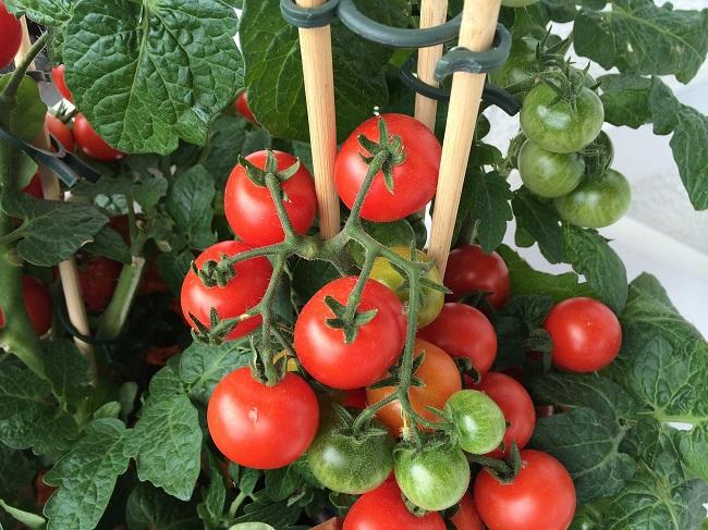crecer tomates desde la maceta
