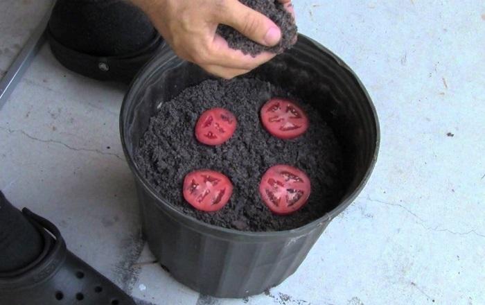 crecer tomates