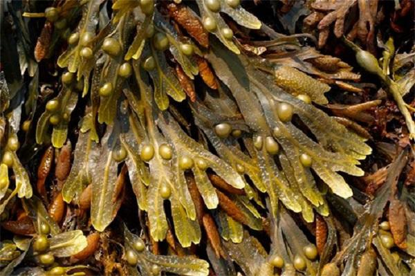 hierba para condición en la tiroides