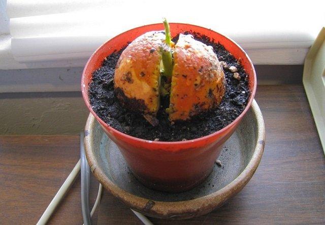 árbol de aguacate semilla brotando