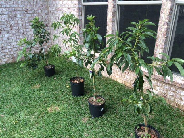 cultivar árbol de aguacate