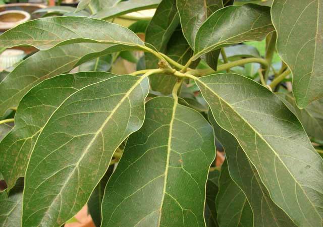hojas de árbol de aguacate