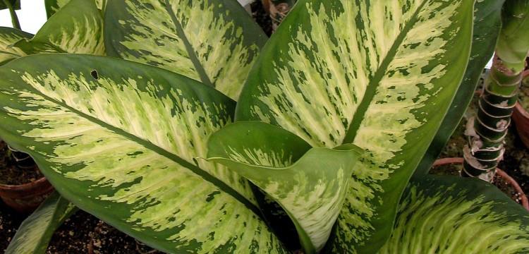Dieffenbachia es un género de plantas tropicales de la familia de las aráceas, una planta de interior que puede ser mortal