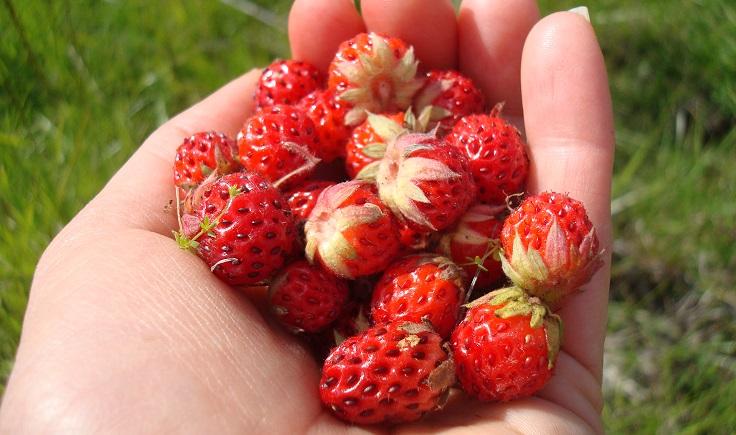 jardinería cosechando fresas