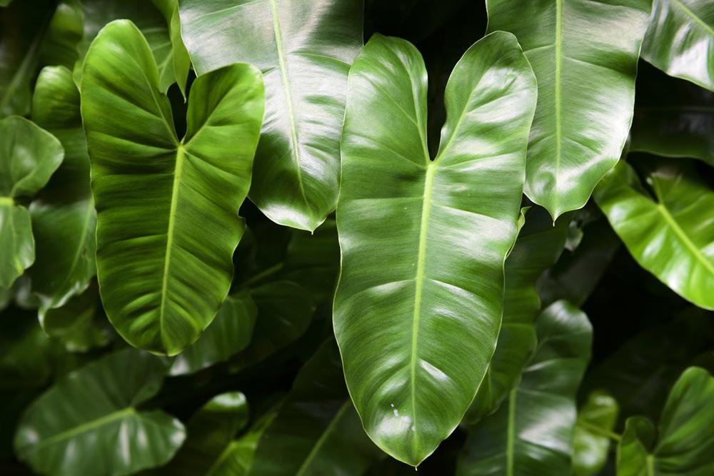 plantas de jardín Philodendron hoja del corazon