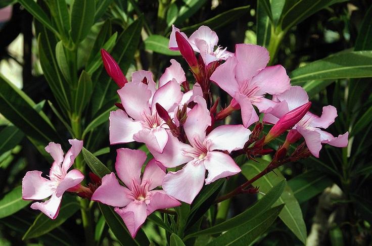 plantas de jardin adelfa o laurel de flor