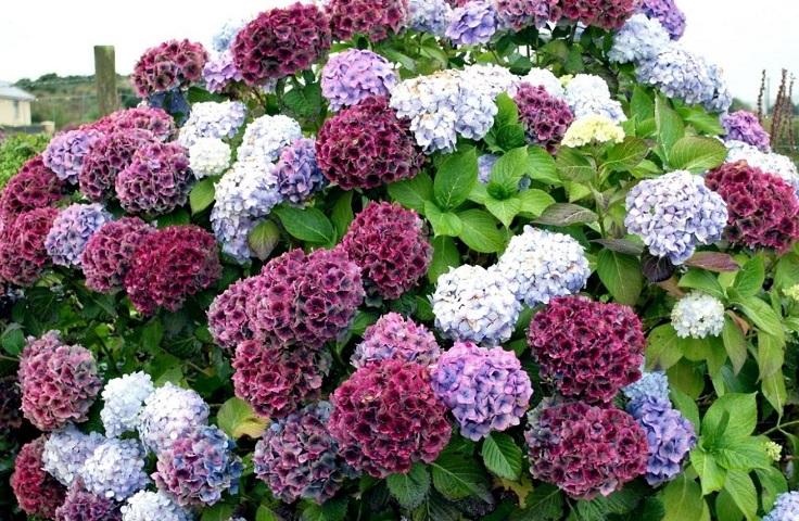 plantas de jardín hortensia