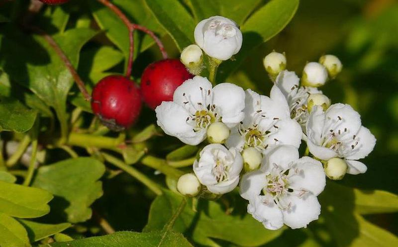 poderes curativos del espino blanco