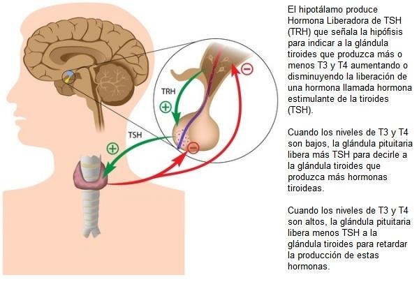 hormonas tiroideas ilustración