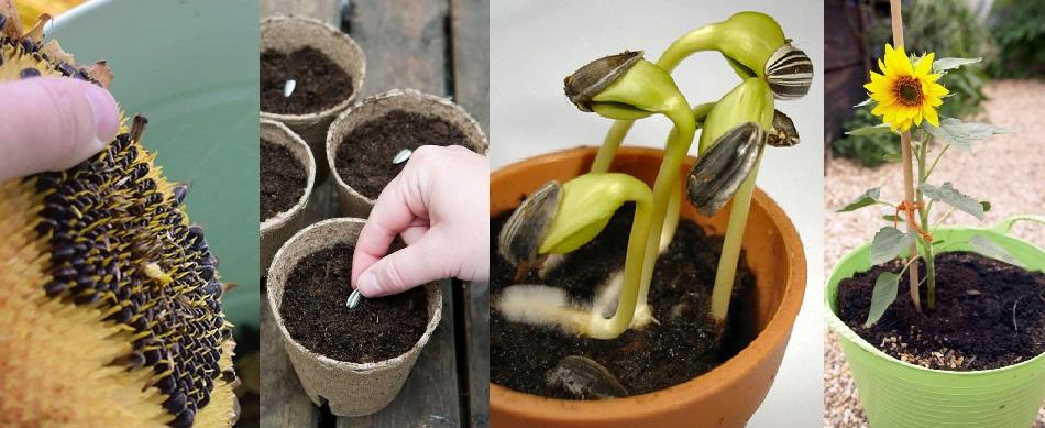 creciendo girasoles