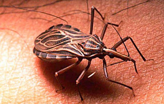 Un insecto trasmitiendo el mal de chagas