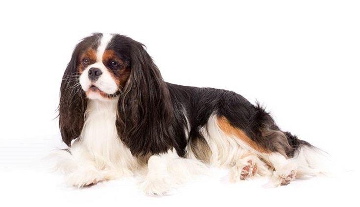 Cavalier King Charles Spaniel perros para criar