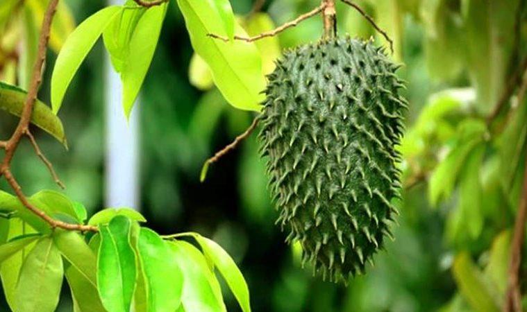 beneficios de las hojas de guanábana