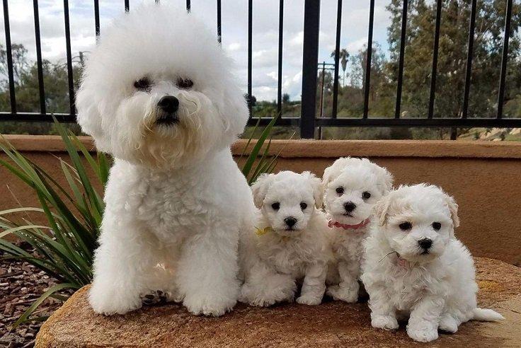 bichón frisé perros para criar