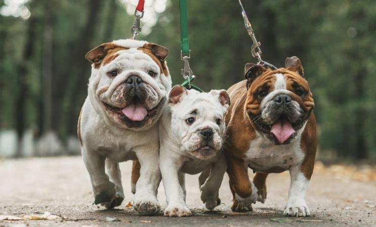 bulldog perros para criar