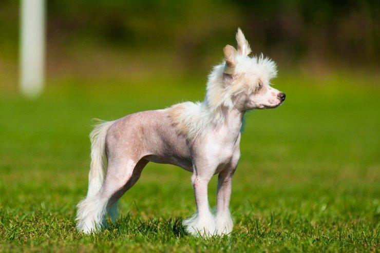 crestado chino perros para criar