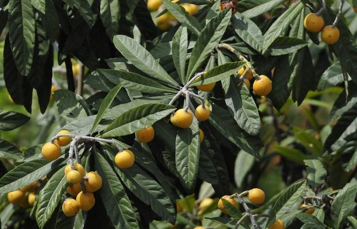remedio para la diabetes con hojas de níspero