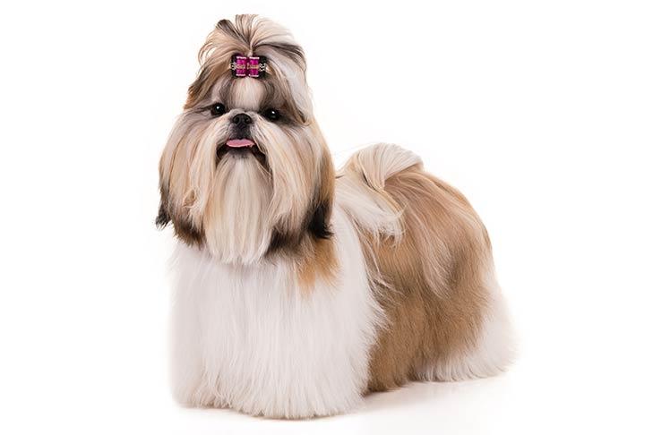 shih tzu perros para criar en departamentos