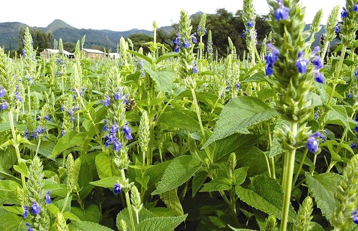 crecer semillas de chía planta