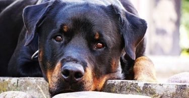 Un perro rottweiler cuida a bebé y le salva la vida