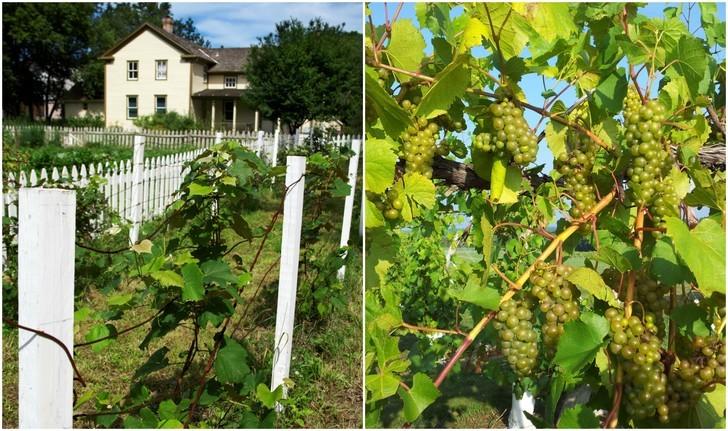 cultivar un viñedo en el patio