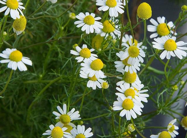 curas herbales con matricaria