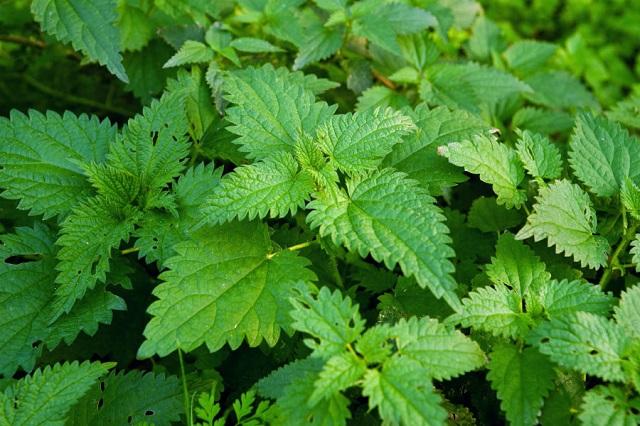 curas herbales con ortiga
