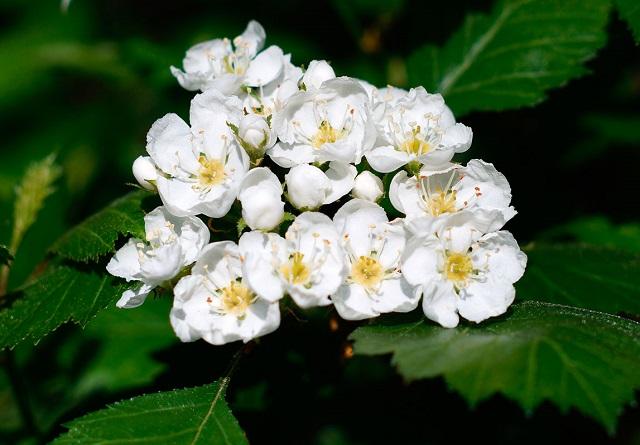 curas herbales espino blanco