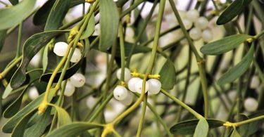 Los beneficios del muérdago como planta medicinal