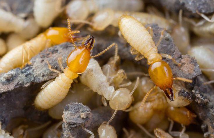 deshacerse de las termitas