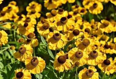 Flores de equinácea