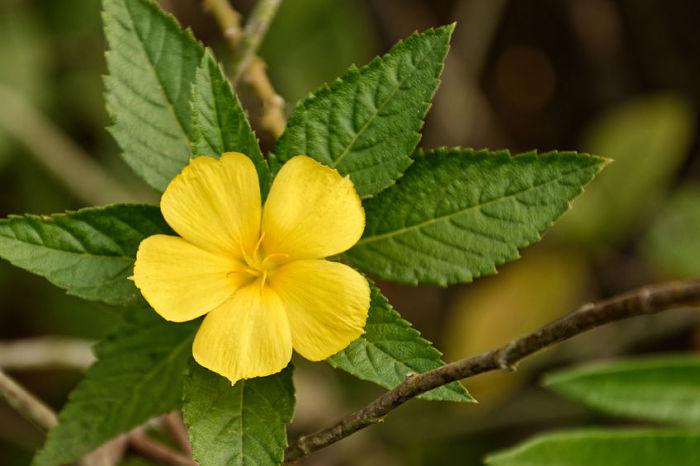 Beneficios del té de damiana