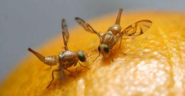 Como eliminar las moscas de frutas