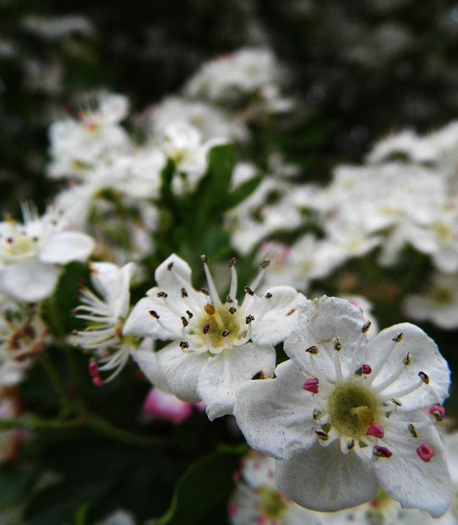 Beneficios de tener en el jardín un espino blanco