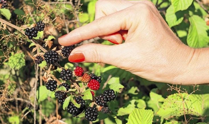 cultivar moras