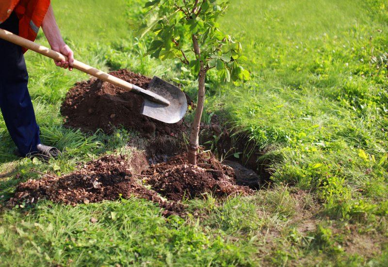 Aprende cómo trasplantar un árbol de forma correcta