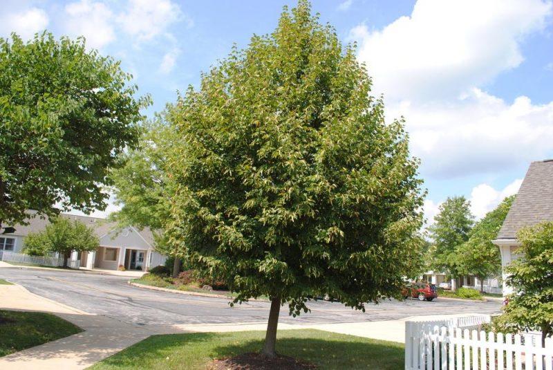 árbol Tilia cordata: Littleleaf Linden