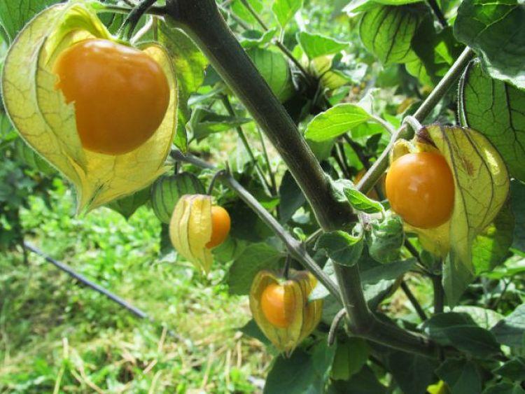 Uchuva un árbol frutal para tener en casa