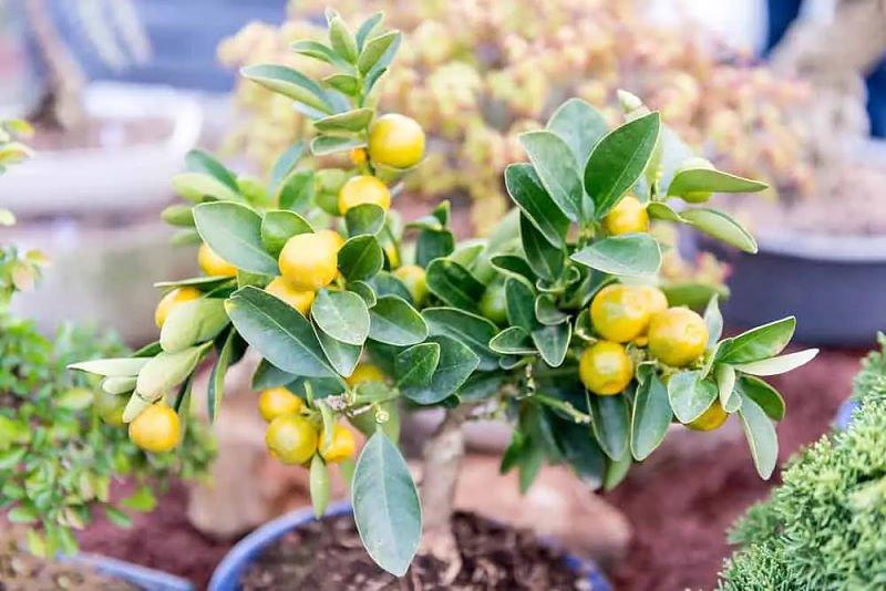 árbol enano de mandarinas