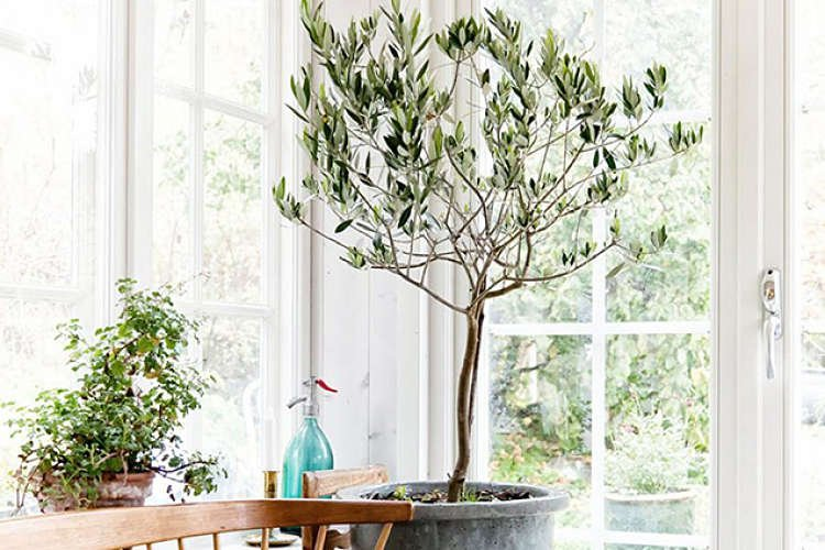 Árbol de olivo en casa