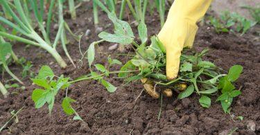 Retirando malezas y malas hierbas de la tierra