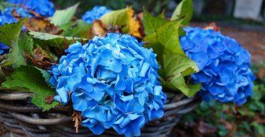Cómo cuidar las hortensias y evitar los errores