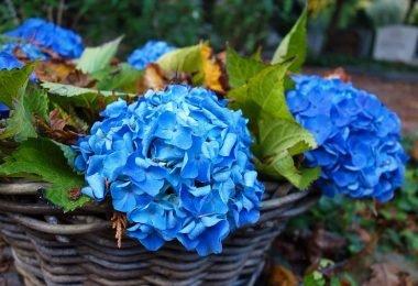 5 errores que no debes cometer con las hortensias
