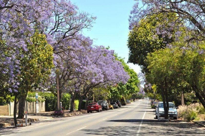 El Jacarandá es un árbol ideal para plantar en la acera