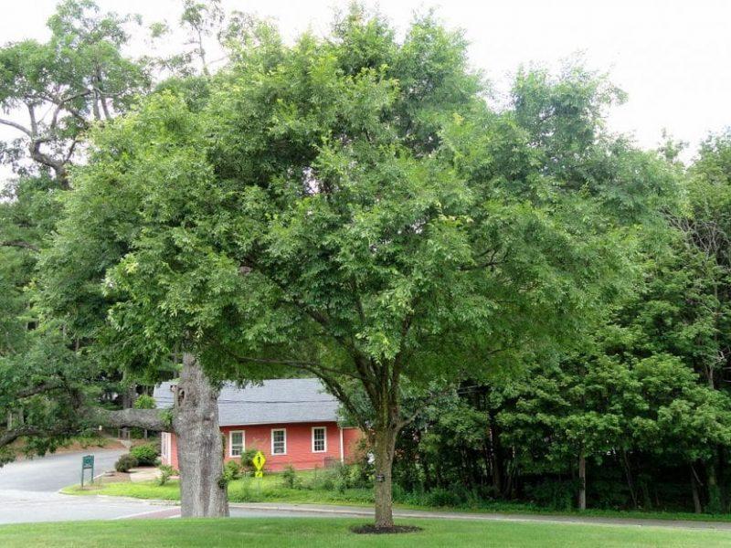 Ulmus parvifolia un árbol ideal para crecer en las aceras