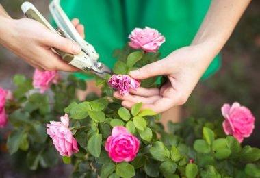 Consejos para podar rosas de manera correcta sin dañar la planta