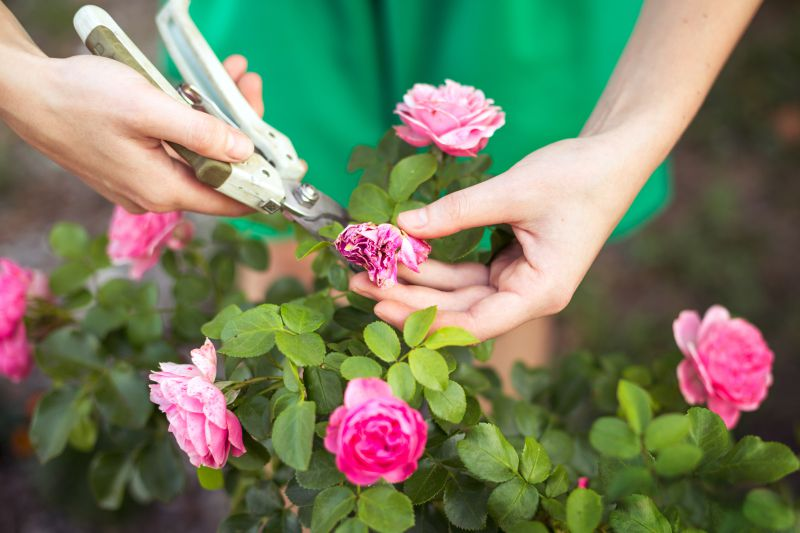 Aprende cómo podar las rosas