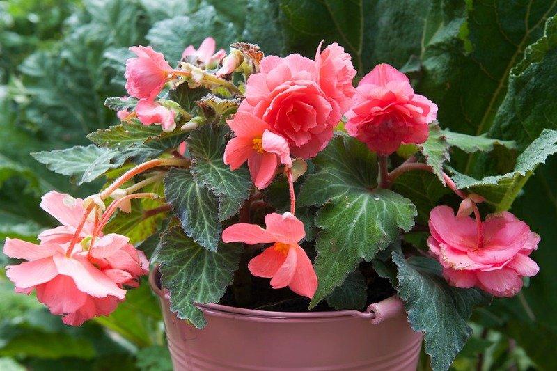 Cómo cuidar begonias y tener flores muy coloridas