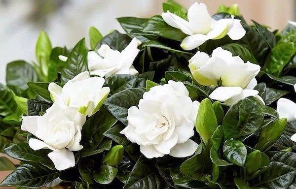 las flores de gardenia