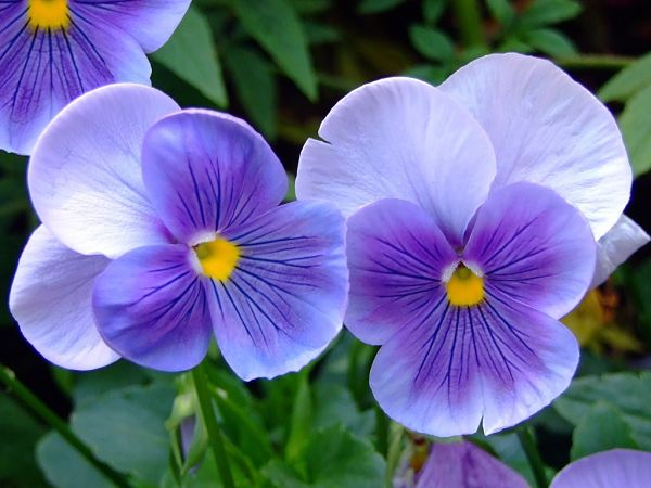 las flores violeta